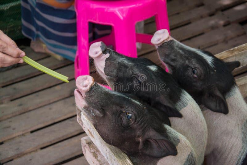 Подавая милая черная мал-ушастая свинья стоковые фото