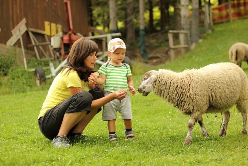 Подавая овцы стоковое изображение