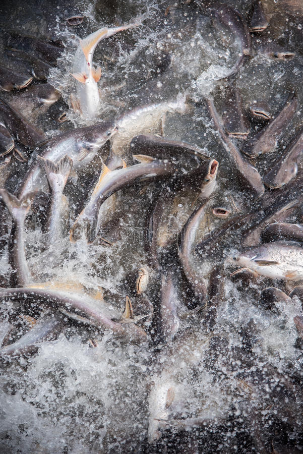 Подавая остервенение рыб стоковые изображения rf