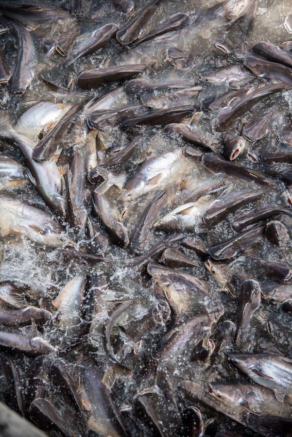 Подавая остервенение рыб стоковое изображение