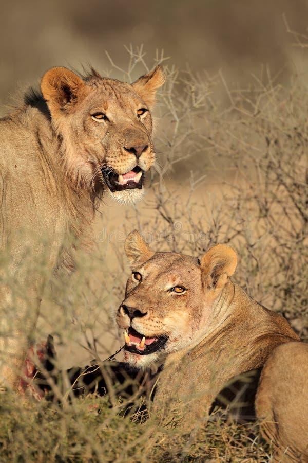 Подавая львы стоковая фотография