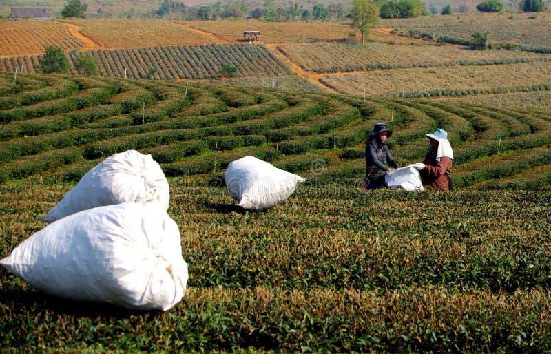 Подборщики и ананасы чая Choui Fong стоковое фото