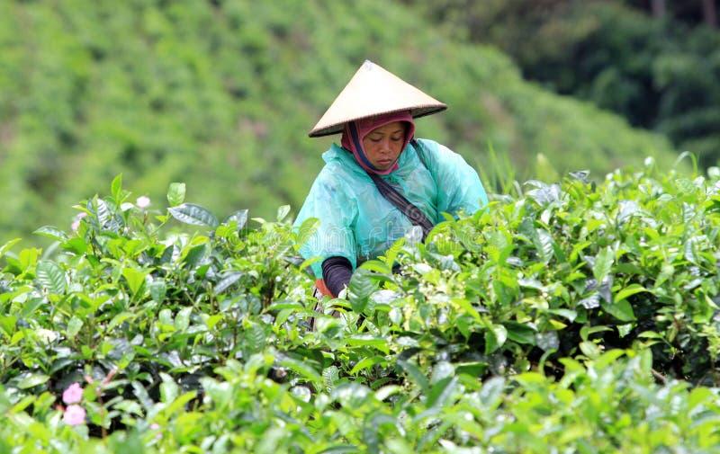 Подборщики чая стоковое изображение rf