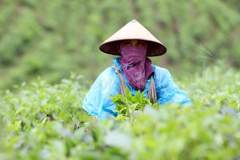 Подборщики чая стоковые фотографии rf