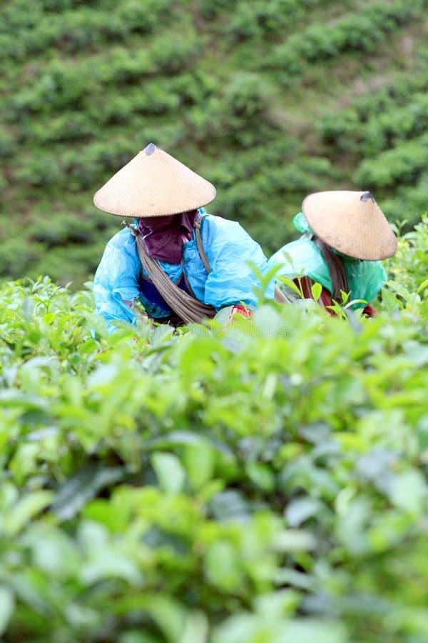 Подборщики чая стоковая фотография rf