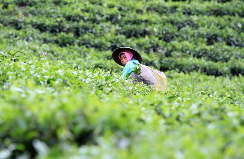 Подборщики чая стоковые фото