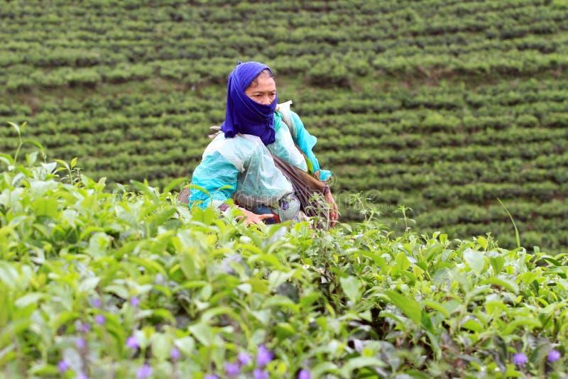 Подборщики чая стоковые изображения