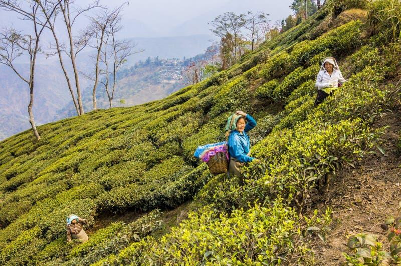 Подборщики чая darjeeling стоковые фотографии rf