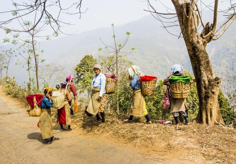 Подборщики чая darjeeling стоковые изображения