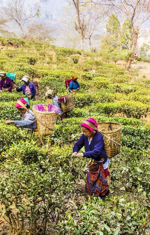 Подборщики чая darjeeling стоковая фотография