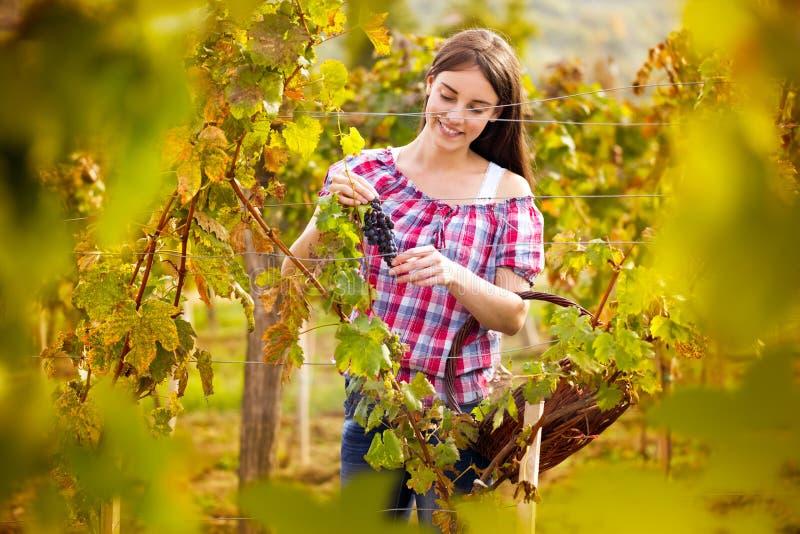 Подборщик виноградины в винограднике стоковое фото rf