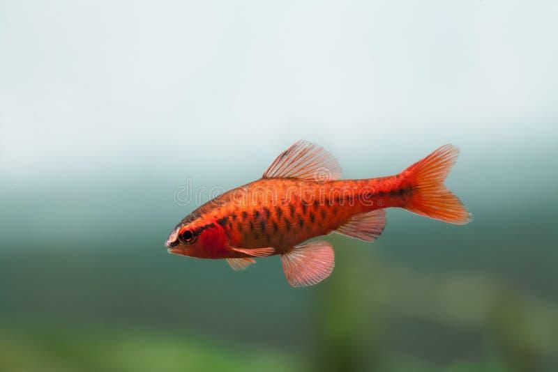 Подводная сцена натюрморта аквариума Заплыв titteya Puntius колючки рыб красного цвета тропический на мягкой предпосылке голубого стоковые фотографии rf