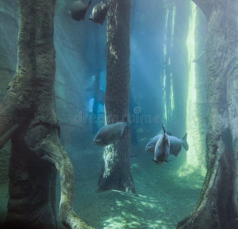 Подводный пейзаж с рыбами Tambaqui стоковая фотография rf