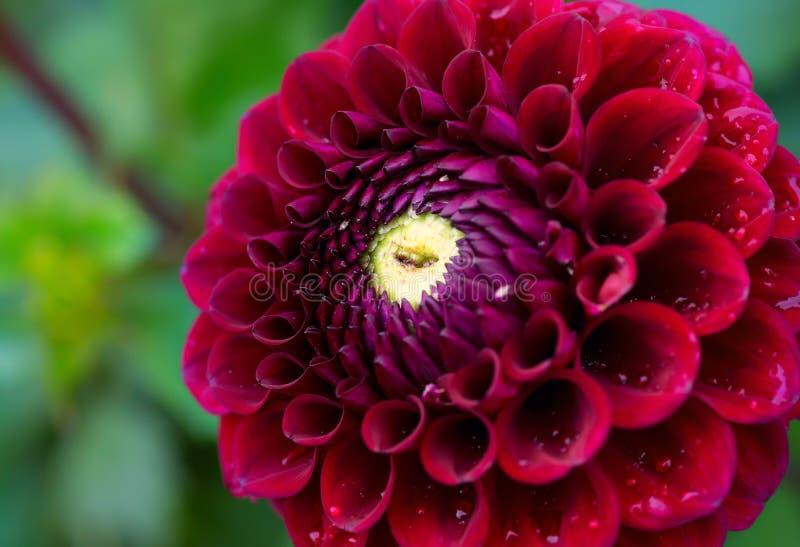 подготовляет красный цвет цветков георгина естественный стоковые фото