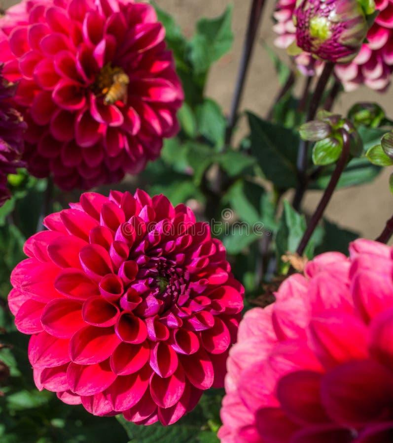 подготовляет красный цвет цветков георгина естественный стоковое изображение