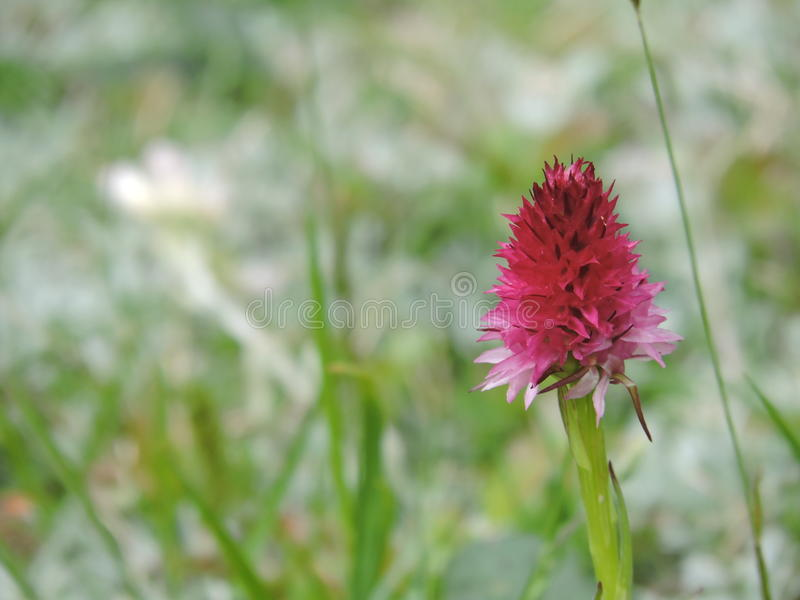 Полевой цветок - Sangele Voinicului стоковая фотография rf