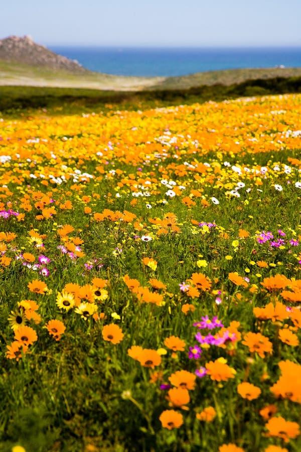 Полевые цветки весны около Кейптауна стоковые изображения