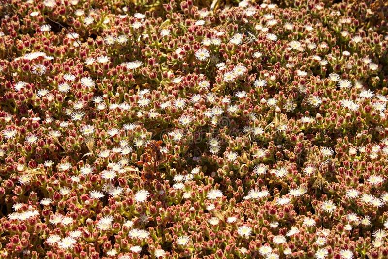 Полевые цветки на пляже malibu стоковые фотографии rf