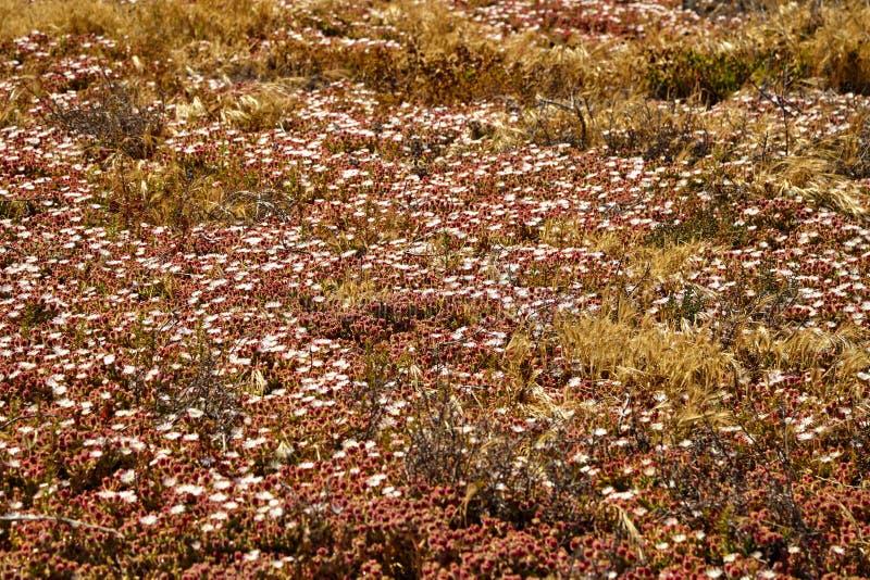Полевые цветки на пляже malibu стоковое изображение