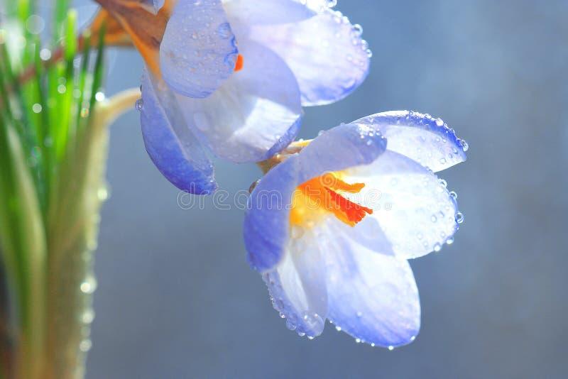 Полевые цветки сини весны стоковое изображение rf