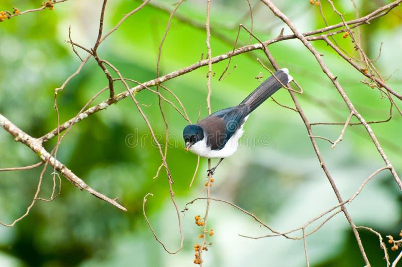 Download поддерживаемая Темн птица Sibia с зеленой предпосылкой Стоковое Изображение - изображение насчитывающей посмотрите, backcloth: 40581071