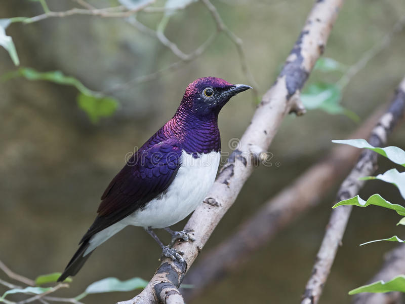 поддерживаемое Фиолетов leucogaster Cinnyricinclus starling стоковая фотография