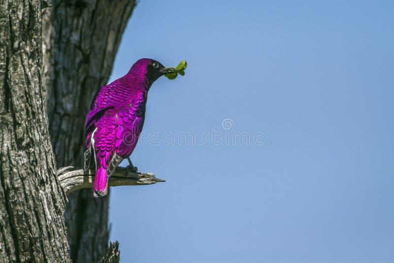 поддерживаемый Фиолетов starling в национальном парке Kruger, Южной Африке стоковая фотография rf