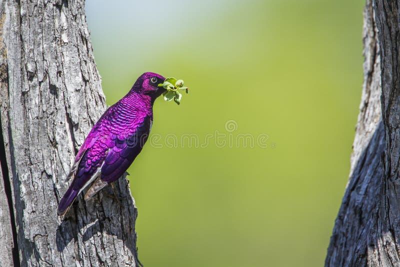 поддерживаемый Фиолетов starling в национальном парке Kruger, Южной Африке стоковое фото rf