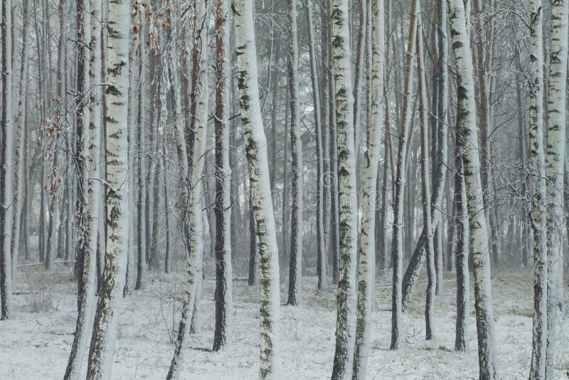 Полесье березы снежное стоковое изображение rf