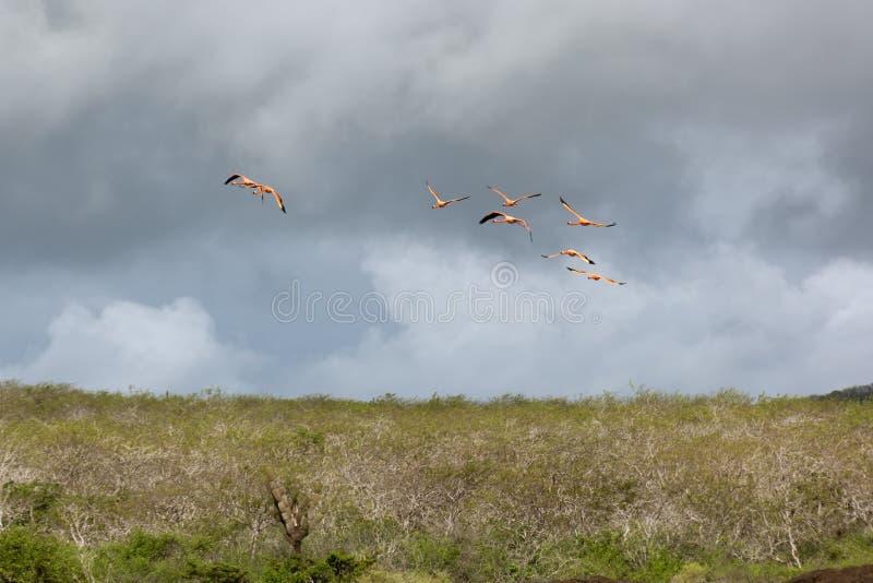 Полет низких фламинго летания в штормовой погоде стоковая фотография rf