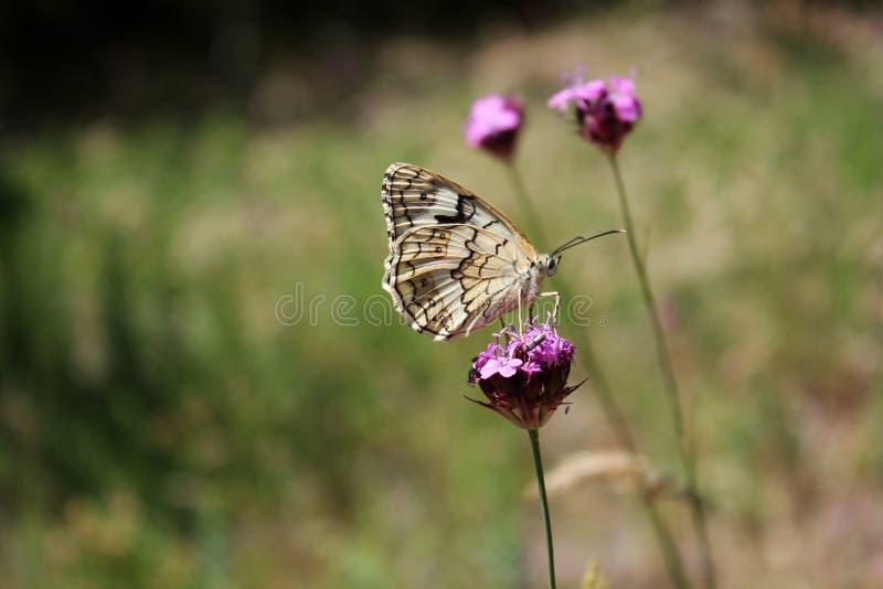 поле бабочки держало весну съемки макроса естественную стоковое изображение