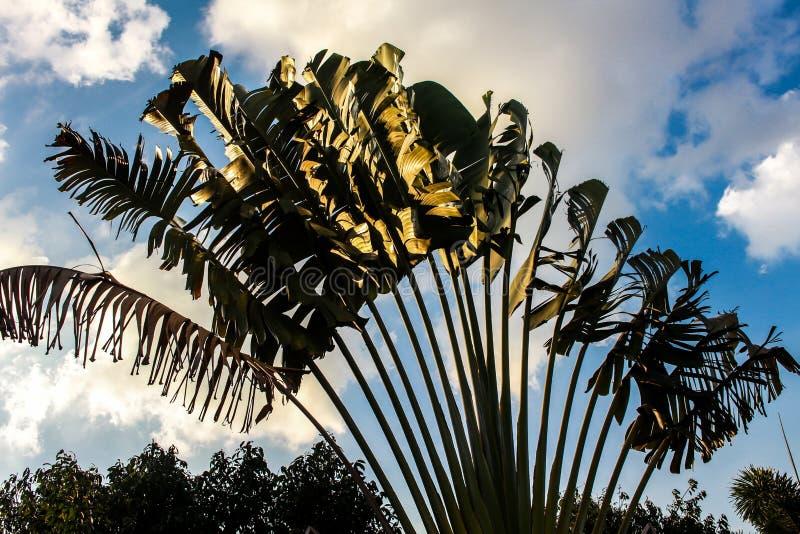 Поле банана с небом bule стоковые фото