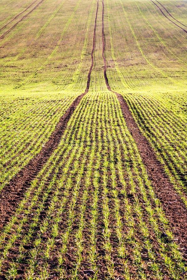 Поле весны с прорастать зерном в линиях стоковые изображения rf