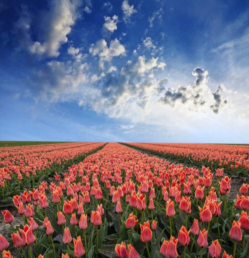 Поле весны с тюльпанами стоковые изображения rf