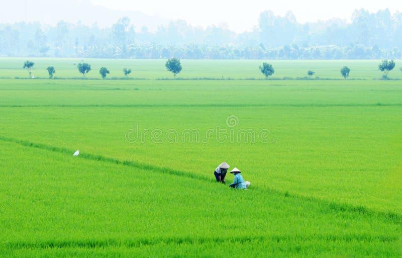 Поле в перепаде Меконга, Вьетнам риса стоковое изображение
