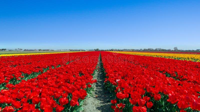 Поле Голландия тюльпана стоковые изображения