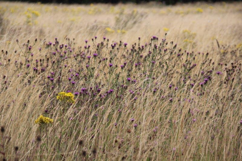 Поле лета Великобритании с Knapweed и Ragwort стоковые фотографии rf