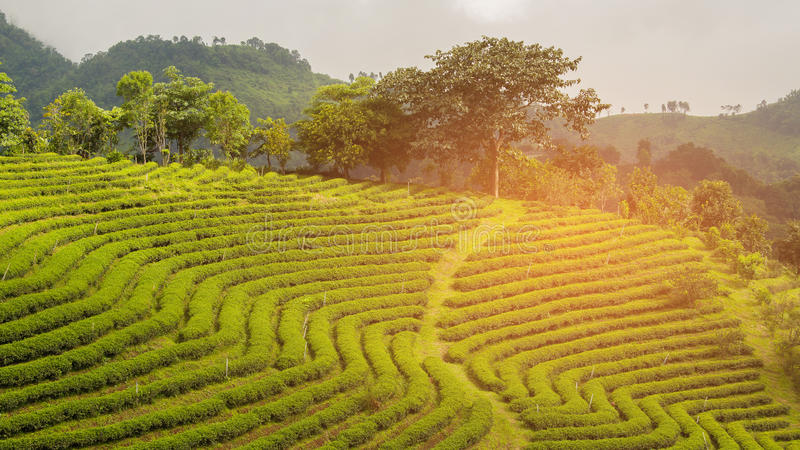Поле завода чая на наклоне горы стоковая фотография rf