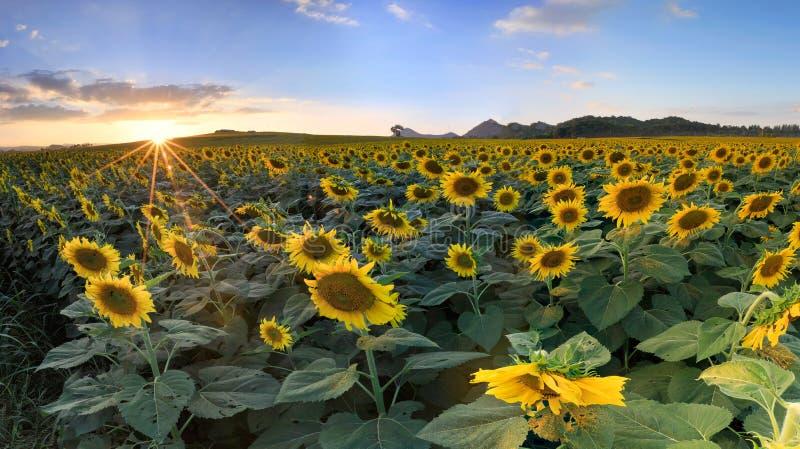 Поле зацветая солнцецветов на заходе солнца предпосылки Панорама co стоковая фотография rf