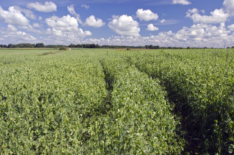 Поле земледелия с цветя горохами и голубым небом стоковое фото