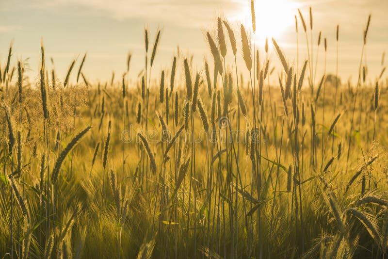 Поле зерна с заходящим солнцем стоковое фото