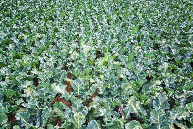 Поле зеленой листовой капусты стоковые изображения rf