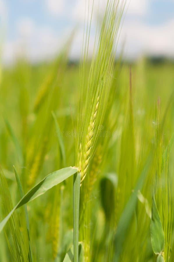 Поле зеленых ушей пшеницы против голубого облачного неба стоковое изображение