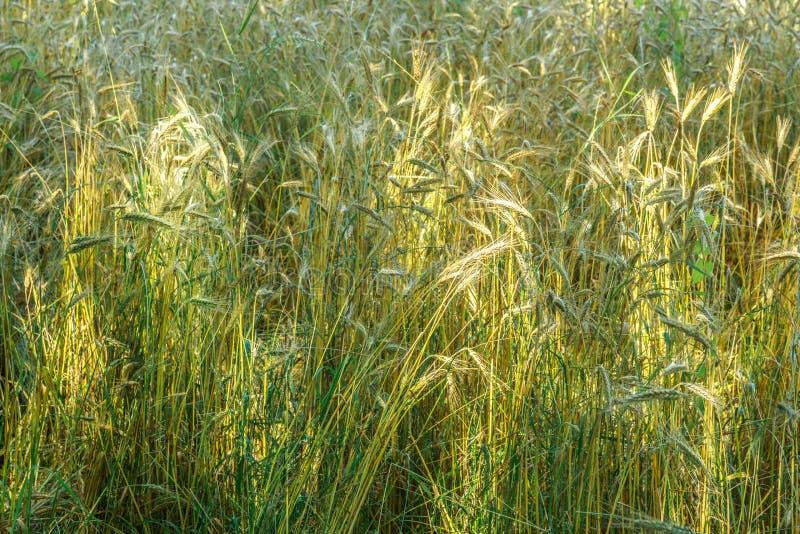 Поле золотой пшеницы как предпосылка стоковое изображение rf
