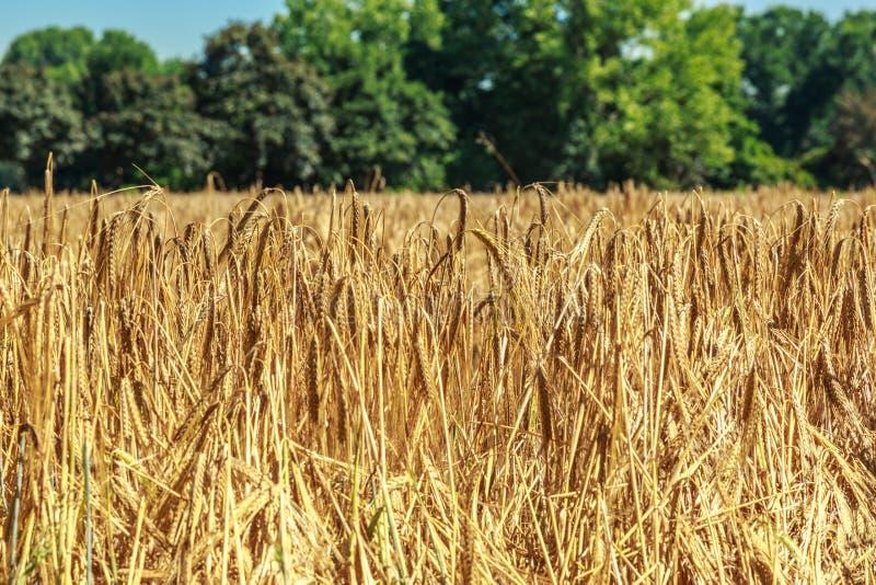 Поле золотой пшеницы как предпосылка стоковое фото