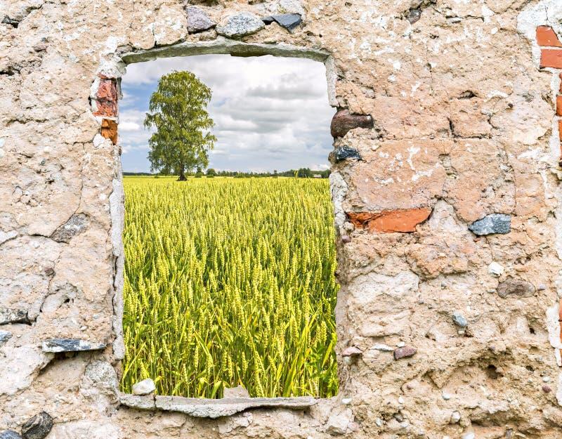 Поле зрея хлопьев увиденное через старое окно стоковое фото rf
