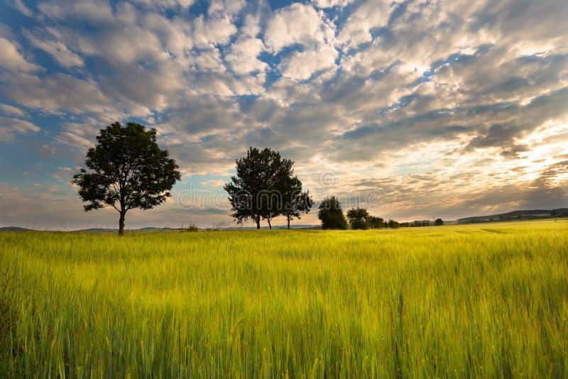 Поле и деревья зерна стоковые фотографии rf