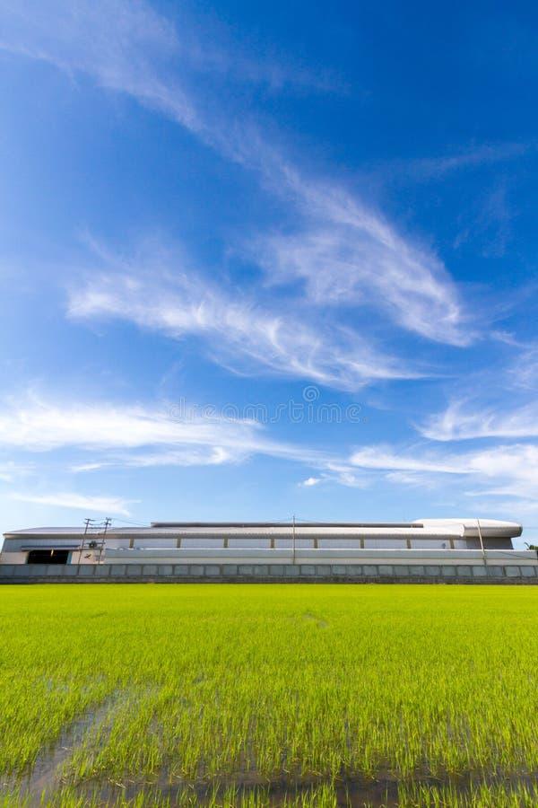 Поле и небо риса стоковая фотография rf