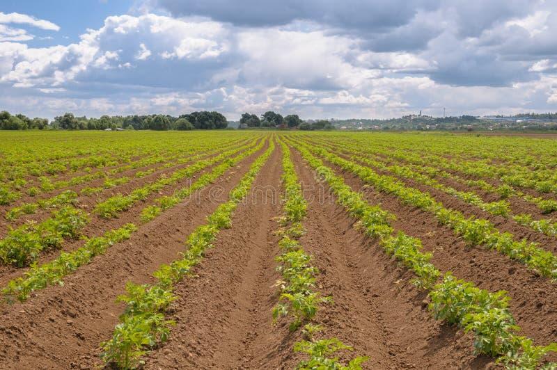 Download Поле картошки засорителя с голубым небом Стоковое Фото - изображение насчитывающей bluets, landscaped: 41658260