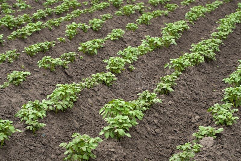 Download Поле картошки стоковое фото. изображение насчитывающей ботаническую - 35316078